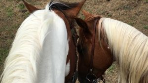 Two horses snuggling